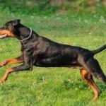 Un cane Dobermann