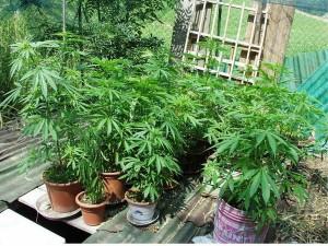 Coltivava marijuana: denunciato un lucano