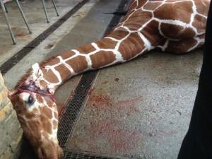 """Una triste foto della giraffa appena """"abbattuta"""""""