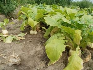 turnip-837670_640
