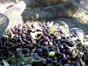 Olive di Vietri di Potenza